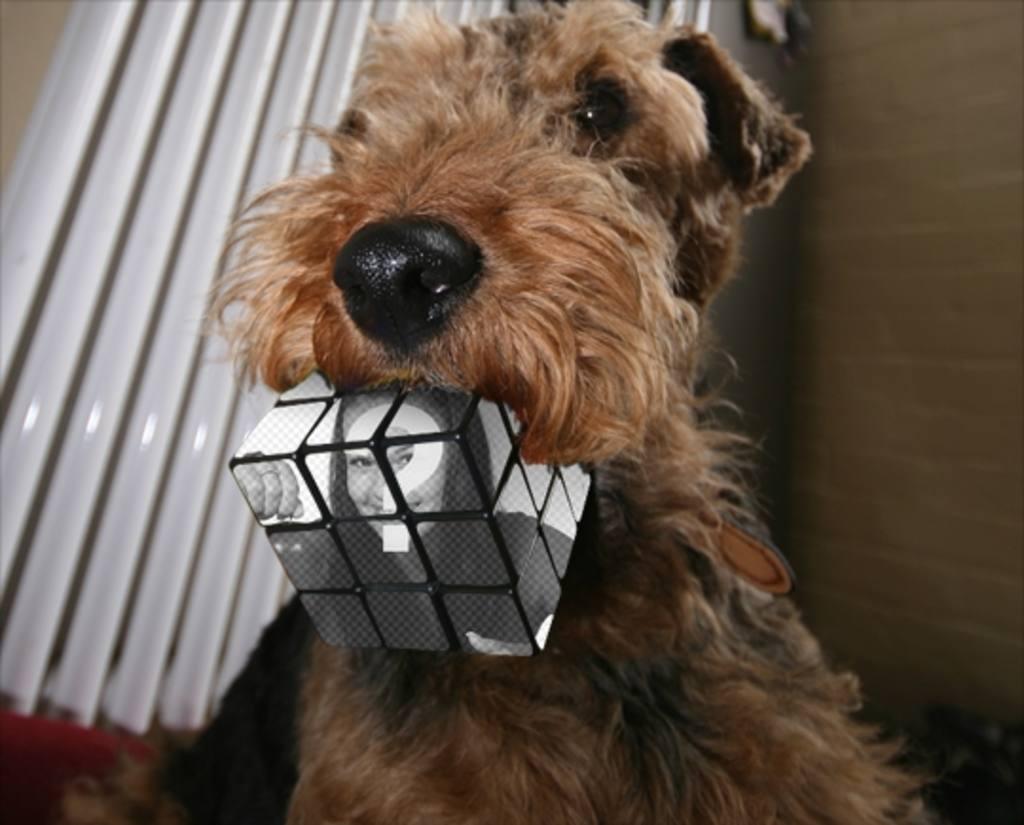 Rubik cube Photomontage mordu par un chien. Télécharger une photo et faire cet effet